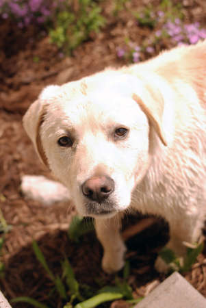 Guilty looking yellow lab puppy caught digging in a flower bed.