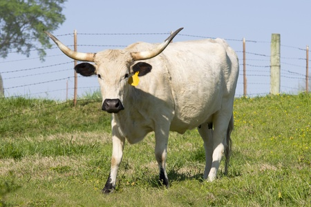longhorn cattle: Large female longhorn cow grazes in a springtime pasture.