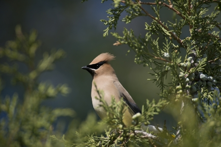 laden: Male cedar waxwing perches in a juniper tree laden with berries  Stock Photo