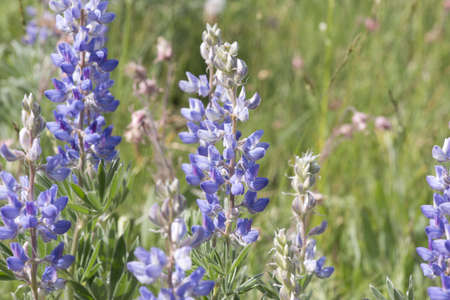 lupine: Wild lupine grows in abundance in the alpine meadows of the Rocky Mountains of Montana  Stock Photo
