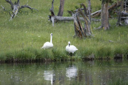 Pair of wild trumpeter swans preen beside the Firehole River in Yellowstone National Park in Wyoming  photo