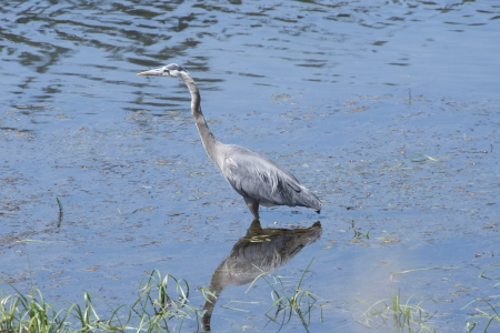 A Great Blue Heron hunts in the Madison River in Yellowstone National Park, Wyoming  photo