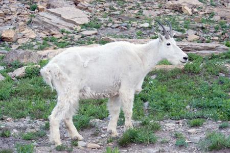 mount evans: Mountain goat at Glacier National Park, Montana.  Stock Photo