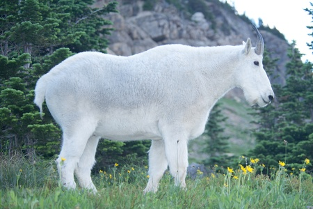 mount evans: Mountain goat at Glacier National Park, Montana.
