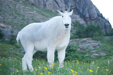 Mountain goat at Glacier National Park, Montana.