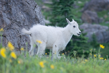 Baby mountain goat poses with a cheesy grin in a an alpine meadow in Glacier National Park, Moontana.