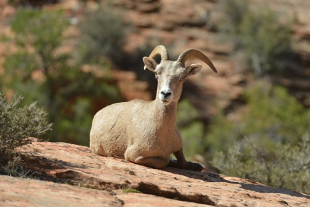 Young bighorn sheep rests at Zion National Park in Utah