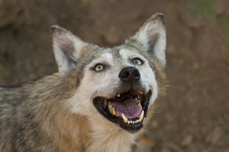 subspecies: The Mexican wolf is the smallest gray wolf subspecies present in the southwestern United States