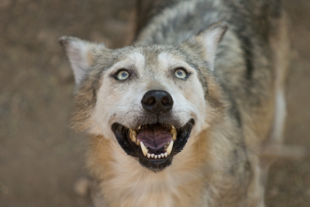 The Mexican wolf is the smallest gray wolf subspecies present in the southwestern United States