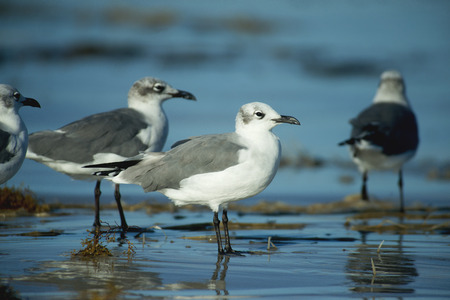 gulls: Laughing gulls in winter plumage at Padre Island, Texas. Stock Photo