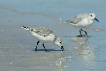 Sanderling in winter plumage searches for food on a Padre Island beach in Texas. Reklamní fotografie