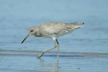 piper: Eastern willet searches for food at a Texas beach at Padre Island. Stock Photo