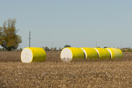 Large round cotton bales on a rural farm in Tennessee with trees in fall foliage. Stock Photo