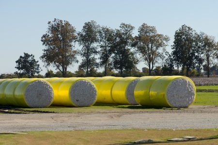 cotton crop: Large round cotton bales on a rural farm in Tennessee with trees in fall foliage. Stock Photo