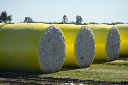 Large round cotton bales on a rural farm in Tennessee. Stock Photo