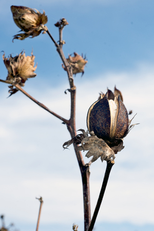 husk: An unopened cotton boll in a rural southern cotton field.
