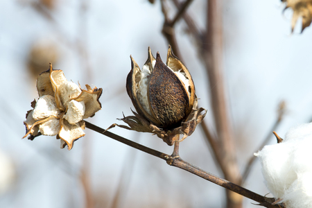 bolls: An unopened cotton boll in a rural southern cotton field.