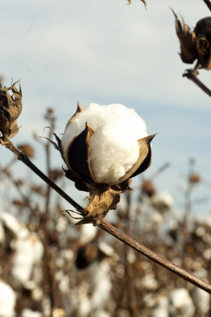 cotton crop: An opened cotton boll in a rural southern cotton field.