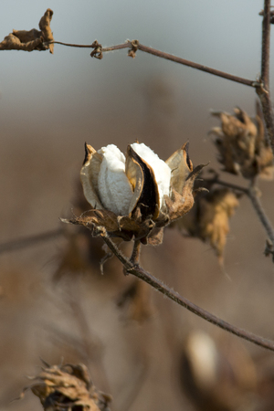 bolls: An opened cotton boll in a rural southern cotton field.