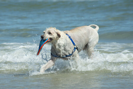Large happy dog retrieves a plate from the ocean surf  photo