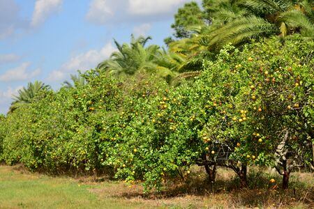 Valencia orange trees in a grove in Florida with palms.