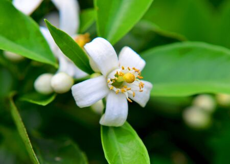 Valencia orange blossoms with leaves.
