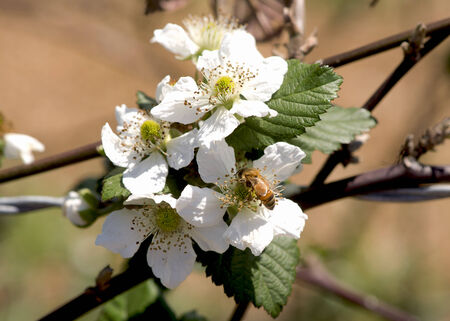 bramble: Blackberry blossoms are visited by honeybees in spring. Stock Photo