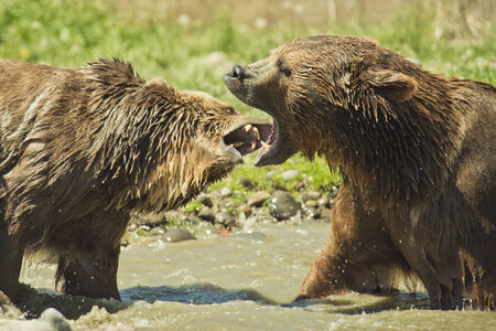 Male and female grizzly bears engage in play behavior. photo