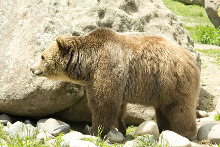 Large male grizzly bear in Montana. photo