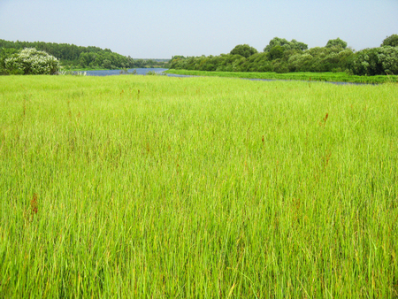 High yellow-green, light green grass on a flood meadow in the summer on a sunny day against the background of the river in the background. Grass for harvesting hay for agricultural needs, animals. Standard-Bild - 119147763