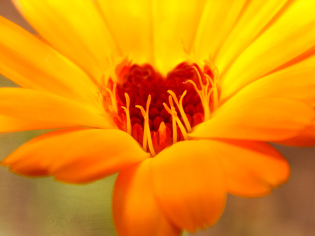 The heart of a blooming calendula flower in the shape of a heart shows the friendly effect of the substances in this flower to a person. Calendula is used for medical, medicinal purposes. Reklamní fotografie