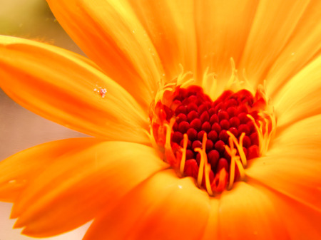 The heart of a blooming calendula flower in the shape of a heart shows the friendly effect of the substances in this flower to a person. Calendula is used for medical, medicinal purposes. Stock fotó