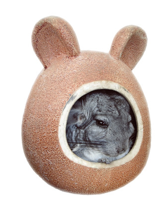 Isolated image of a small chinchilla with black beady eyes sitting in a ceramic pet house. A small animal peeps out of its mink, shelter. Exotic pet with soft soft hair.