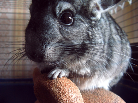 Little chinchilla with black beady eyes sits in a cage. A small animal is contained in a cage in the apartment. Exotic pet with soft soft hair.
