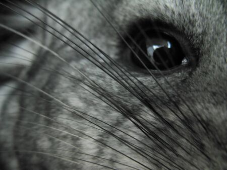 Close-up eye, mustache and hair of a standard domestic gray chinchilla. 스톡 콘텐츠