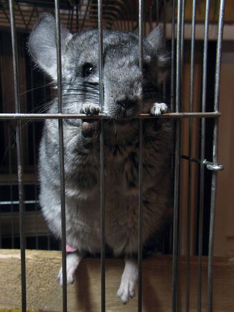 A funny funny gray standard adult chinchilla sits in his cage and nibbles the rods. Perky young chinchilla asks for a walk, stretch his legs outside the cage