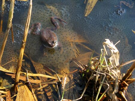 A frog sits in a spring pond on the calf. Reproduction of frogs in vivo. 写真素材