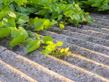 A decorative creeping grape clings to a slate and grows on the roof of a low-rise building.