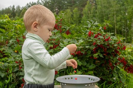 Little toddler boy picks red currants from a bush in a bowl. We develop fine motor skills in vivo. Stock fotó