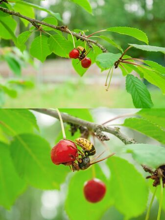 A wasp drinks juice from a dried cherry fruit close-up and even larger. The striped insect eats the berries of a cherry tree. Dangerous neighborhood for the gardener.