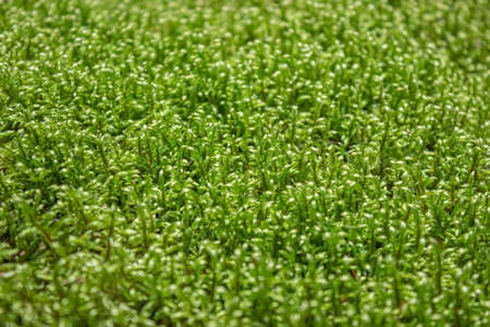 A beautiful warm moist green moss close-up.