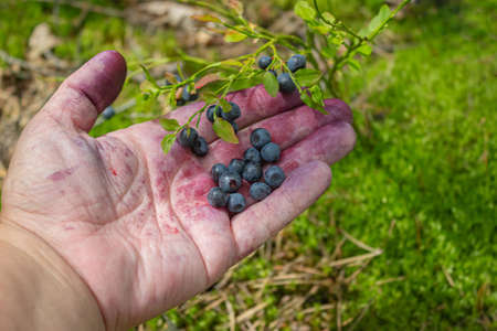 handful of blueberries in the palm, smeared with blueberry juice