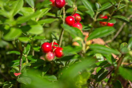 Beautiful juicy lingonberry grows on a sunny meadow in a pine forest. 免版税图像