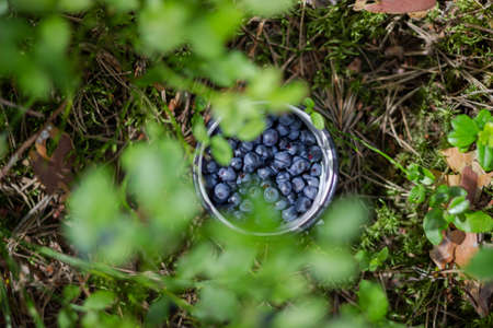 A full mug of berries stands in moss in the blueberry bushes