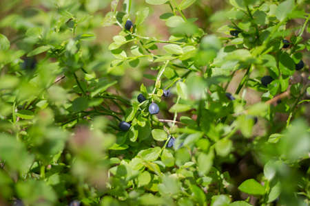 Forest juicy large bright blue blueberries on a bush
