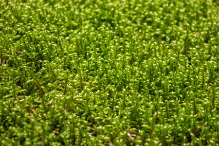 The texture of the forest green wet moss from the tract. A beautiful flat carpet made of natural moss.