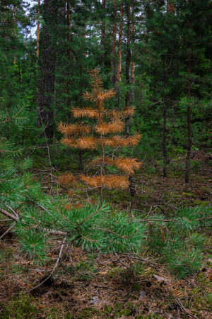 The young, short pine tree dried up and turned bright orange. Orange red rusty needles of a young coniferous tree in the forest. The dead tree.