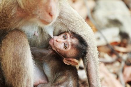 breastfeed: male monkey breast-feed a little monkey