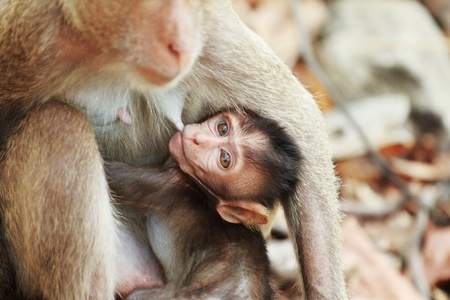 breastfeed: mono macho amamantar a un peque�o mono