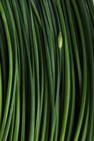 align: green chinese chive,garlic-flavoured blossom, align in pattern background Stock Photo